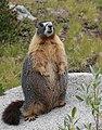 Marmota flaviventris standing S of Donahue Pass.jpg