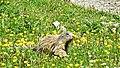 Marmots galore near Lech 2017 5 (25516984887).jpg