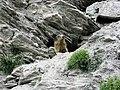 Marmotta nel parco del Gran Bosco di Salbertrand 2.jpg