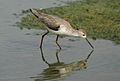 Marsh Sandpiper, Tringa stagnatilis at Borakalalo National Park, South Africa (9900320246).jpg