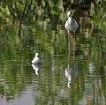 Marsh Sandpiper (Tringa stagnatilis) & Black-winged Stilt (Himantopus himantopus) W IMG 4481.jpg