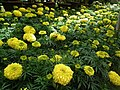 Marygold from Lalbagh flower show Aug 2013 8169.JPG