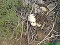 Mashrooms of chiltan - panoramio (2).jpg