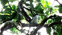 Mauritius Cuckoo-shrike.jpg