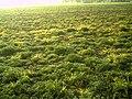 May Glottertal Spring - Master Habitat Rhine Valley Photography 2013 - panoramio (8).jpg