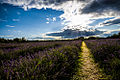 Mayfield Lavender London Borough of Sutton.jpg