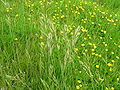 Meadow Brome in sward.JPG