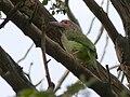 Megalaima zeylanica -perching in tree-6a.jpg
