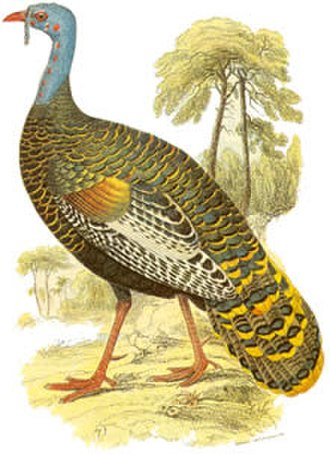 Ocellated turkey - 19th-century painting of a male