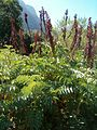 Melianthus major KirstenboshBotGard09292010G.JPG