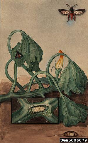 Squash vine borer - Image: Melittia cucurbitae