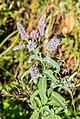 Mentha longifolia at Lac des Plagnes (1).jpg