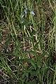 Mertensia oblongifolia 9511.JPG