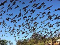 Mexican free-tailed bats (9413220937).jpg