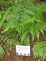 Microlepia strigosa in Lyon Arboretum.jpg