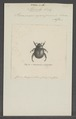 Mimela - Print - Iconographia Zoologica - Special Collections University of Amsterdam - UBAINV0274 021 01 0058.tif