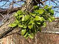 Mistletoe-3426.jpg