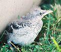 Mockingbird Chick002.jpg