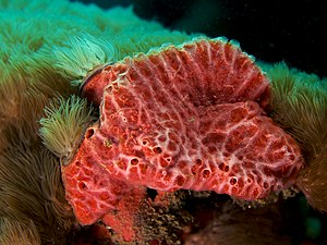 Monanchora unguifera (Pink Lumpy sponge).jpg
