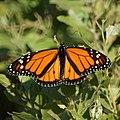 Monarch Butterfly (5005113765).jpg