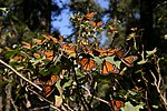 Monarch butterfly rush 2.jpg