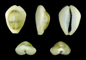 Shell money - Money Cowry; Length 2.6 cm; Palou Tello, Batu Islands, Indonesia