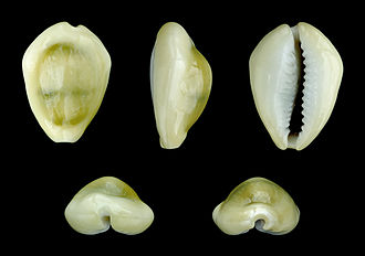 Monetaria moneta - Five views of a shell of Monetaria moneta