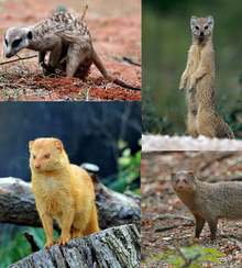 Top left: Suricata suricatta Top right: Cynictis penicillata Below left: Galerella sanguinea Below right: Herpestes edwardsii