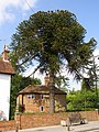 Monkey Puzzle tree on Lyndhurst High Street, New Forest - geograph.org.uk - 179353.jpg