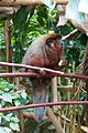 Monkey at Chester Zoo.jpg