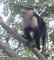 Monkey in Manuel Antonio National Park.JPG