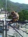 Monkey of haridwar.jpg