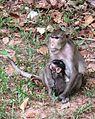 Monkeys of Cambodia 02.JPG