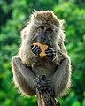 Monyet makan Gabin.jpg