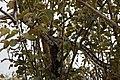 Morelia spilota variegata-3.jpg