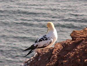 Northern gannet - Young northern gannet. The front part of its body shows adult plumage.