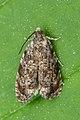 Moth (Lepidoptera) - Kitchener, Ontario 03.jpg