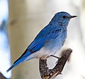 Mountain Blue Bird 5 (8045047207).jpg