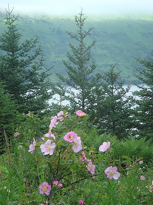 Raspberry Island (Alaska) - Mountain roses and sitka spruce overlooking Raspberry Strait.