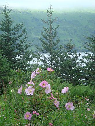 Raspberry Island (Alaska) - Mountain roses and sitka spruce overlooking Raspberry Strait.