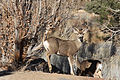 Mule deer buck full-face.jpg