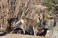 Mule deer buck full-face.jpg