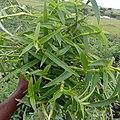Murdannia Nudiflora 02.jpg