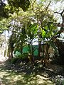 Musa × paradisiaca Linnaeus 1753 - 2013 003.jpg