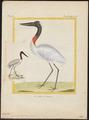 Mycteria americana - - Print - Iconographia Zoologica - Special Collections University of Amsterdam - UBA01 IZ17600049.tif