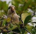 Myiopsitta monachus -Florida -tree-8e.jpg