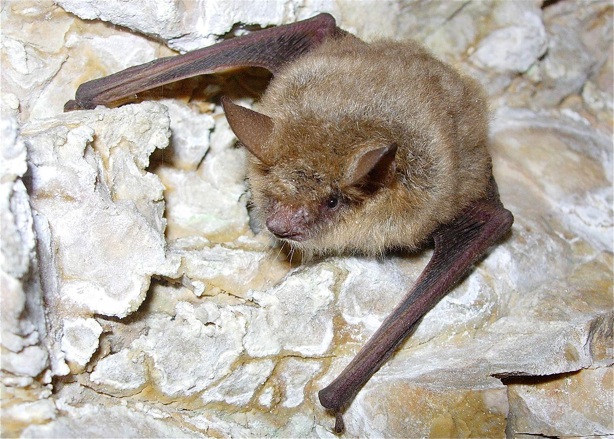 Geoffroy's bat - Wikipedia