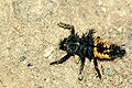 Myzia.oblongoguttata.larva.jpg