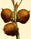 NAS-027g Quercus palustris acorns.png