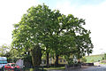 ND-7339-007-2Eichen-FriesenheimIMG 7911.jpg